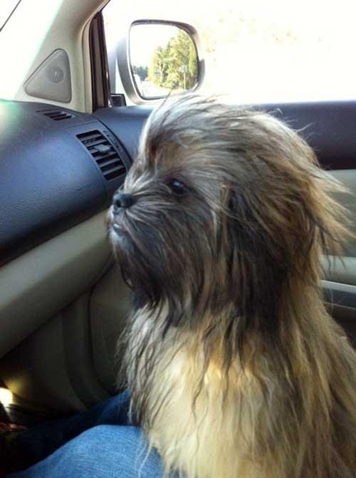 Собака похожая на Чубакку