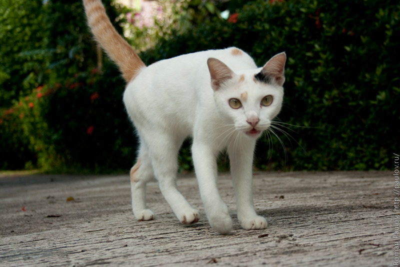 Таиская кошка